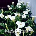 100PCS bulbs true calla lily bulbs,White calla bulbs,Elegant noble flower,White zantedeschia aethiopica for home garden