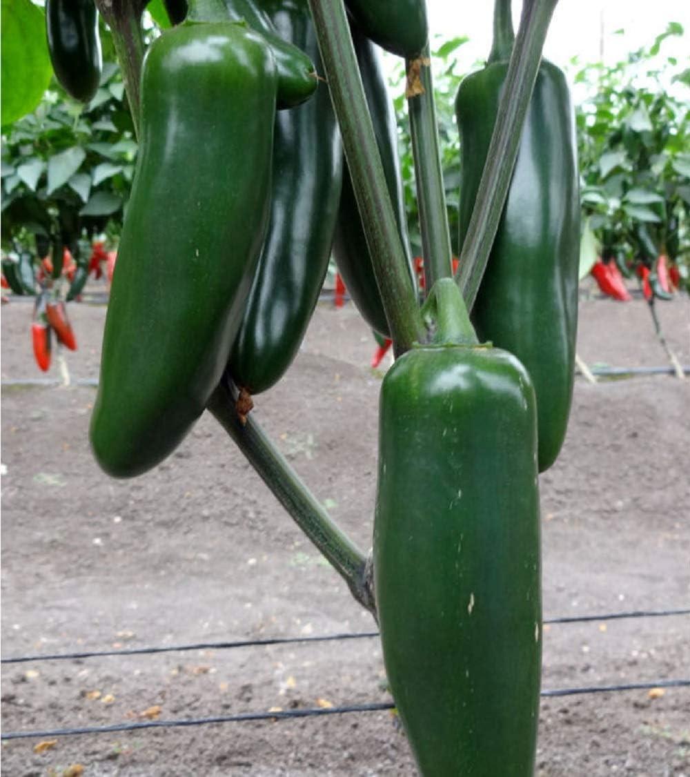 David's Garden Seeds Pepper Jalapeno Jedi 9116 (Green) 25 Non-GMO, Hybrid Seeds