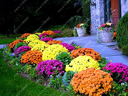 100 pcs/bag Ground-cover Chrysanthemum Seeds Perennial Bonsai Flower Seeds Daisy Potted Plant
