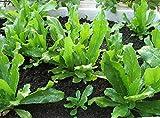 Non-GMO Organic Vietnamese Culantro 100 Seeds - Also Known As Recao Long Coriander Mexican Coriander Thai Parsley Ngo Gai Eryngium Foetidum Chadon Beni