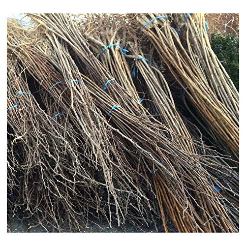 schnellw/üchsig bot. Robinia pseudoacacia Akazie 50 St/ück Robinie Nyirsegi Baum bewurzelt 60//100 geradschaftig als Energieholz//Wertholz,