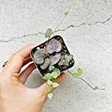 String Of Heart Plant (Not VARIEGATED) RARE Beautiful Ceropegia Woodii succulent (2 inch)