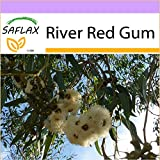SAFLAX - River Red Gum - 200 seeds - Eucalyptus camaldulensis
