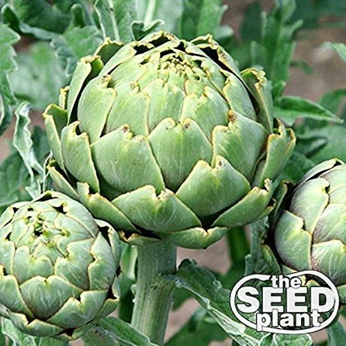Green Globe Artichoke Seeds - 30 Seeds NON-GMO