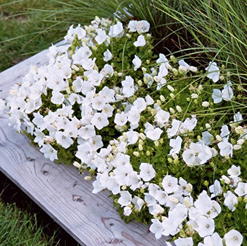 - 50 Seeds of Campanula carpatica - White clips bellflower. Showy white bell shaped flowers with a low growing habit.