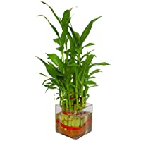Zaavic Lucky Bamboo 2 layer Plant in Beautiful Square Glass Pot and Coloured Jelly Balls