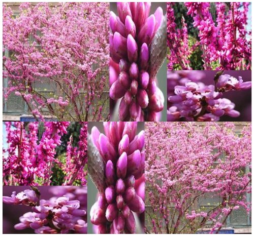 20-x-chinese-redbud-tree-seeds-cercis-chinensis-purplish-rose-purple-flowers-zone-6-9-by-myseedsco