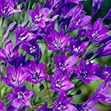 10 Triteleia Queen Fabiola Bulb Blue Flower Color Perennial Summer Bloom