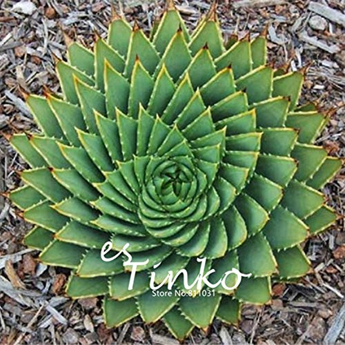 20pcs Aloe Polyphylla Seeds Aloe Succulent Plants Bonsai Seeds