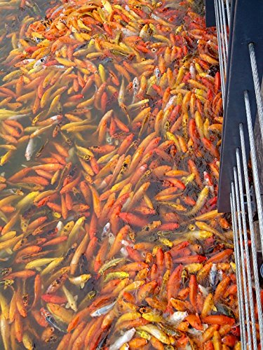 LAMINATED POSTER Pet Pond Goldfish Koi Fish Fishing Zen Garden Poster Print...