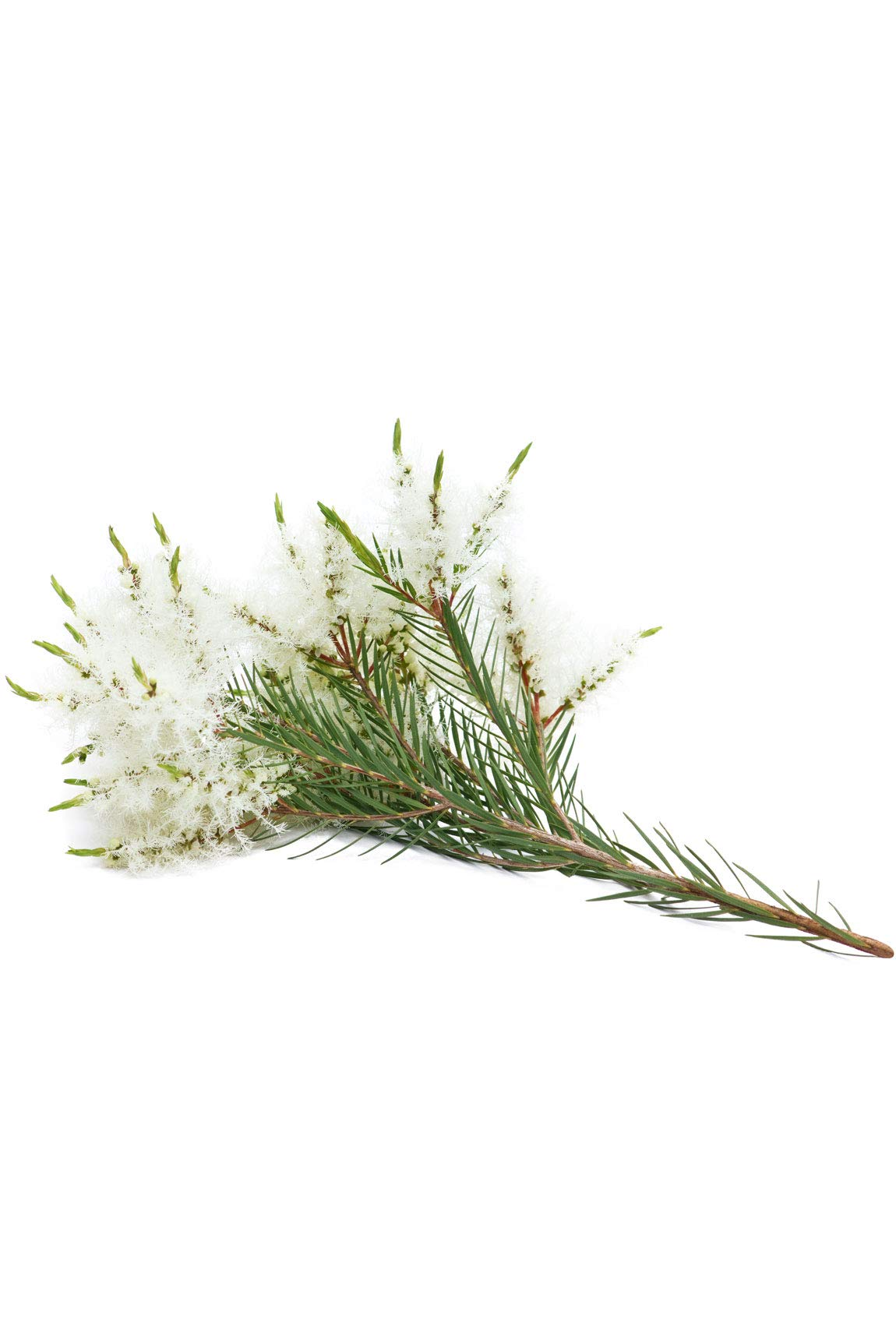 doTERRA - Melaleuca (Tea Tree) Essential Oil - Promotes Healthy Immune Function, Seasonal Protection, Cleansing and Rejuvenating Effect on Skin; for Diffusion, Internal, or Topical Use - 15 mL by DoTerra