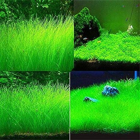 Semillas de hierba para acuario - Delaman Mini Double Leaf, plantas de jardinería en primer