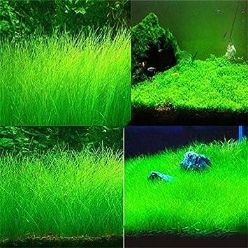 Aquarium Grass Seeds - Delaman Fast Growing Aquatic Plants