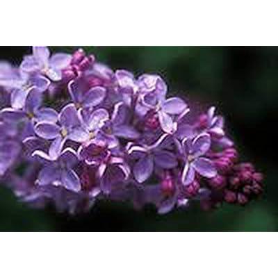 AchmadAnam - Live Plant - Lilac Syringa Vulgaris, (3) #1 Grade, Lilac Bush, Lilac, Lilacs, Lilac Tree : Garden & Outdoor