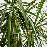 Indivisa Dracaena House Plant Seeds - 1000 Seeds - Annual Decorative Ornamental Plant Seed - Cordyline indivisa