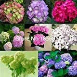 100 Pcs / Bag, Hydrangea Seeds, Color Mixture, Plumbago Capensis