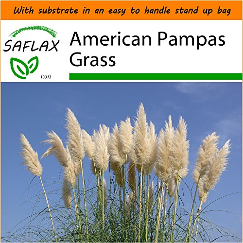 SAFLAX - Garden in the Bag - American Pampas Grass - 200 seeds - Cortaderia selloana