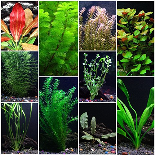 10 Species Live Aquarium Plants Package - Anacharis, Swords, Vallisneria and More! ()
