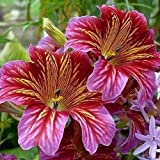 Painted Tongue Velvet Dolly Mix Flower Seeds (Salpiglossis Sinuata) 100+Seeds