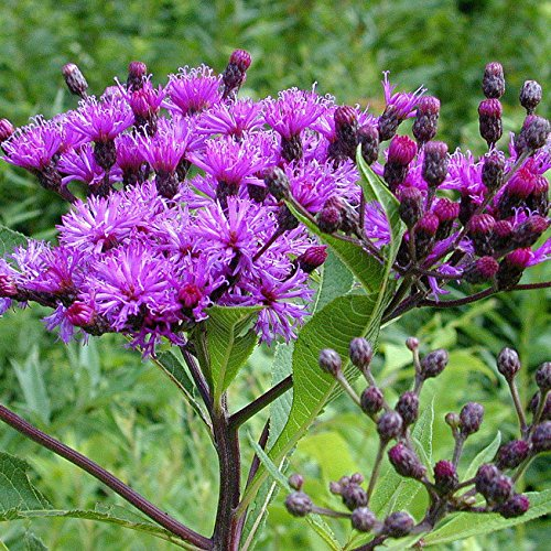 Cheap Ironweed Seed Bombs, Bulk Seed Balls for Fall Planting (Vernonia fasciculata) (20) free shipping
