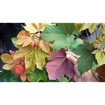 "AchmadAnam - 4"" Pot - Rare Regal Petticoat Sycamore Maple - Acer pseudoplatanus 'Tunpetti', Plant, Tree, Bulb : Garden & Outdoor"