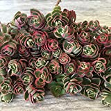 succulent ground cover Cal Summer Garden 50+ Sedum Tricolor Unrooted Cuttings Ground Cover Stonecrop Succulents