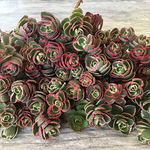 Cal Summer Garden 50+ Sedum Tricolor Unrooted Cuttings Ground Cover Stonecrop Succulents