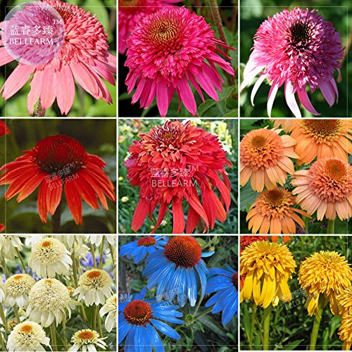 BELLFARM Echinacea Mixed 9 Colors Big Blooms Perennial Flower Seeds, 200 seeds, professional pack, heirloom hybrid coneflowers