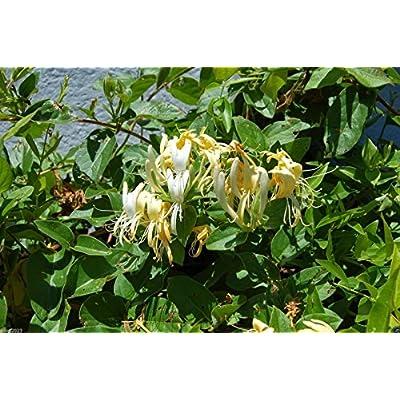 Lonicera Japonica Seeds (Japanese Honeysuckle ) climbing vine,fragrant flowers(10 Seeeds): Kitchen & Dining
