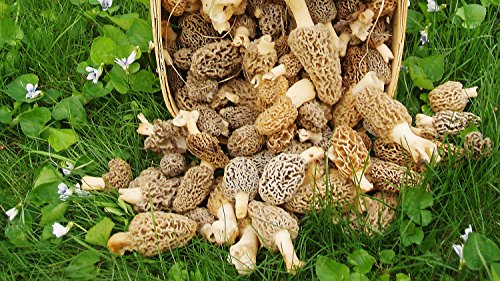 Large Kit Morel Mushroom Spores in Sawdust Seed Spore kit From WV 50 Gallon kit by SS0089 (Image #1)
