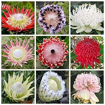 50 Bonsai/Pack Fresh Rare Protea Cynaroides Bonsai Easy Planting Rare Bonsai Flower Bonsai Variety Complete (Mixed Color) - (Color: 7): Garden & Outdoor