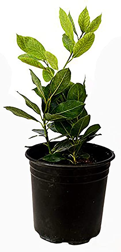 9GreenBox Bay Laurel Plant One Gallon Live Plant Ornament Decor for on plants at sam's club, plants at homegoods, plants that repel bugs and pests, plants inside home, plants at ikea, plants under evergreen trees, plants at office depot, plants at michaels, plants with white flowers, plants that repel mosquitoes, vines depot, plants at safeway, plants at disney, plants at kroger, plants at menards, plants at publix, plants at tj maxx, plants at harris teeter, plants at cvs, plants at kmart,
