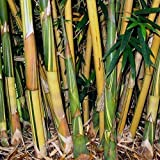 4 Plants - Bambusa Alphonse KARR Clumping Bamboo-3+ Ft Tall Now! t