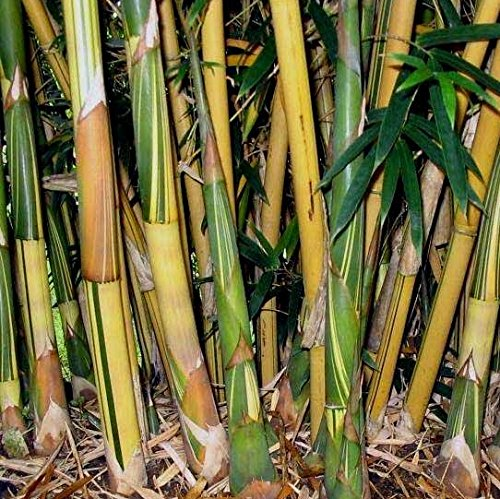 4 Plants - Bambusa Alphonse KARR Clumping Bamboo-3+ Ft Tall Now! t by Old Oaks Garden and Nursery, LLC (Image #4)