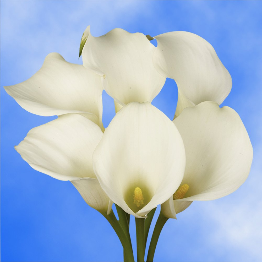 GlobalRose 10 Stems of White Calla Lilies - Fresh Flowers for Delivery by GlobalRose