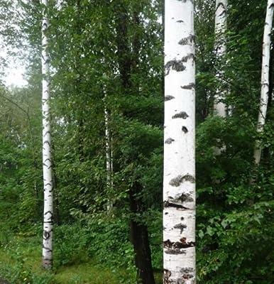 3 Europe White Birch Tree2 Ft Live Plants Trees Pealing Bark Seedlings