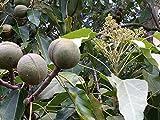 5 Aleurites moluccana Seeds, Candlenut Seeds, candleberry Tree Seeds