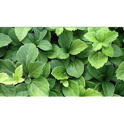 Pachysandra Terminalis Japanese Spurge Groundcover - 100 Bare Root Plants : Vine Plants : Garden & Outdoor
