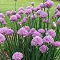 Common Chives Seeds (Allium schoenoprasum) 100+ Non-GMO Culinary Heirloom Herb Seeds in FROZEN SEED CAPSULES for the Gardener & Rare Seeds Collector - Plant Seeds Now or Save Seeds for Years