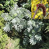 melianthus Major, Giant Honey Flower Bush, honeyflower, Tropical Look / 6 Seeds