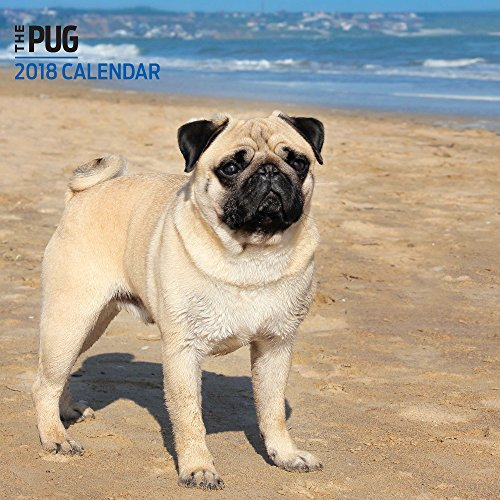 Mini Breed Pug - 3