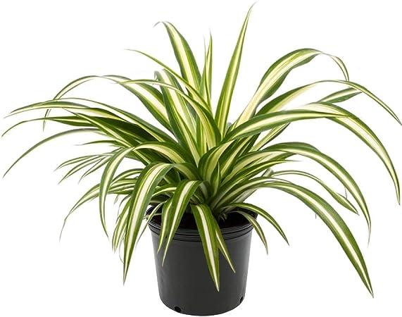 Indoor//Outdoor Air Purifier! AMERICAN PLANT EXCHANGE Calathea Lancifolia Rattlesnake Prayer Live Plant 6 1 Gallon Pot
