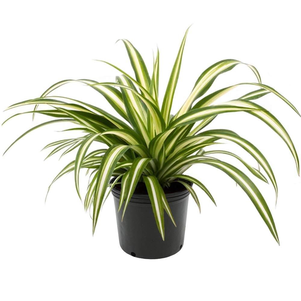 AMERICAN PLANT EXCHANGE Spider Plant Easy Care Live, 1 Gallon, Indoor/Outdoor Air Purifier!