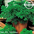 Gaea's Blessing Seeds - Double Curled Parsley Seeds 500+ Non-GMO Seeds Open-Pollinated High Yield Heirloom