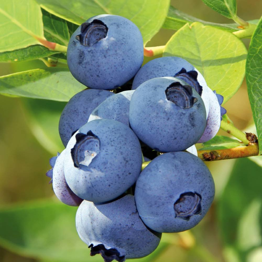 Blueberry Bluecrop - 1 shrub Gardens4you
