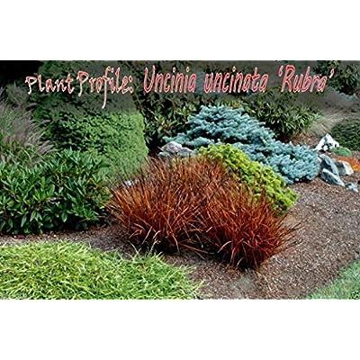 Uncinia Rubra Firedance (10 Seed) AKA New Zealand Red Hook Sedge - Ornamental : Garden & Outdoor