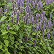 Outsidepride Anise Hyssop Herb Plant 1