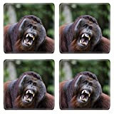 MSD Square Coasters Non-Slip Natural Rubber Desk Coasters design: 8095024 Pongo pygmaeus wurmbii southwest populations The orangutans are the only exclusively Asian living genus of