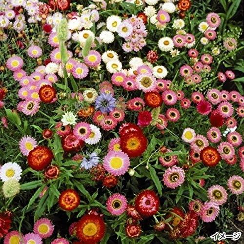 国華園 種 花たね ドライフラワーミックス 1袋(400mg)/メール便配送