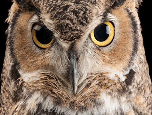 1000 Piece Photo Jigsaw - National Geographic Photo Ark - Great Horned Owl 1000 Piece Jigsaw Puzzle - Joel Sartore